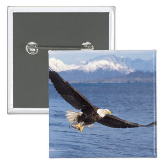 bald eagle, Haliaeetus leucocephalus, in flight 4 15 Cm Square Badge