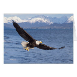 bald eagle, Haliaeetus leucocephalus, in flight 4 Card
