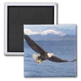 bald eagle, Haliaeetus leucocephalus, in flight 4 Magnet