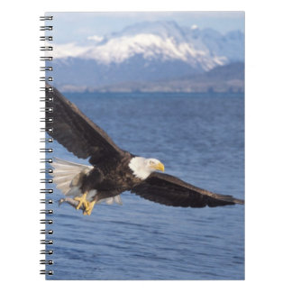 bald eagle, Haliaeetus leucocephalus, in flight 4 Spiral Notebook