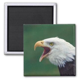 Bald Eagle (Haliaeetus leucocephalus) Refrigerator Magnets