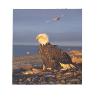 bald eagle, Haliaeetus leucocephalus, on a beach Notepad