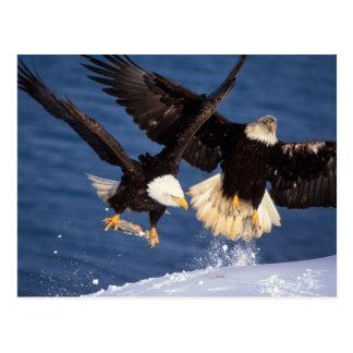 bald eagle, Haliaeetus leucocephalus, taking off Postcard