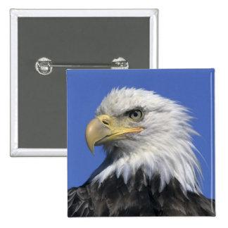 Bald Eagle, (Haliaeetus leucocephalus), wild, 15 Cm Square Badge