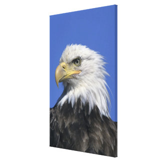 Bald Eagle, (Haliaeetus leucocephalus), wild, Canvas Print