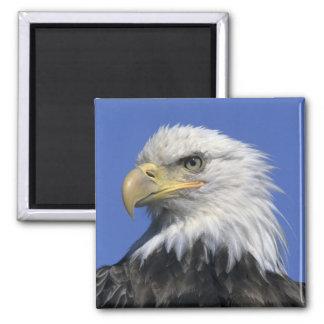 Bald Eagle, (Haliaeetus leucocephalus), wild, Refrigerator Magnets