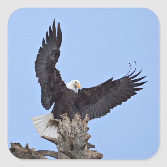 Bald Eagle (Haliaeetus leucocephalus) with wings Square Sticker