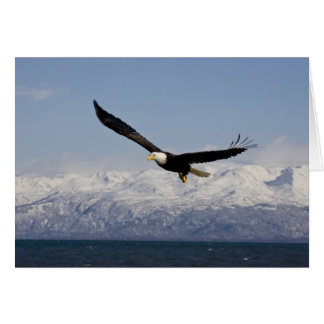 Bald Eagle in Flight, Haliaeetus leucocephalus, 3 Card