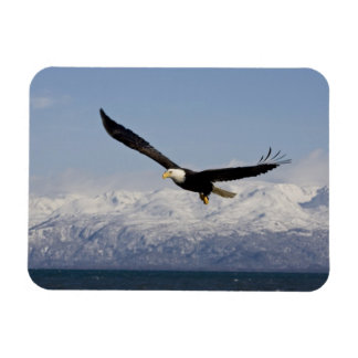 Bald Eagle in Flight, Haliaeetus leucocephalus, 3 Magnet