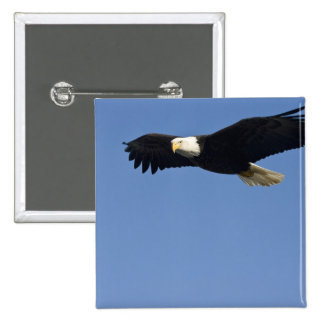 Bald Eagle in Flight, Haliaeetus leucocephalus, 4 15 Cm Square Badge