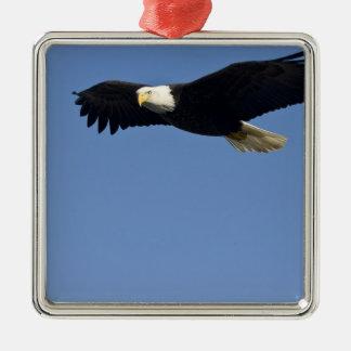 Bald Eagle in Flight, Haliaeetus leucocephalus, 4 Silver-Colored Square Decoration