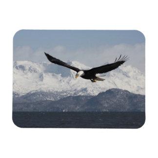 Bald Eagle in Flight, Haliaeetus leucocephalus, Rectangular Photo Magnet