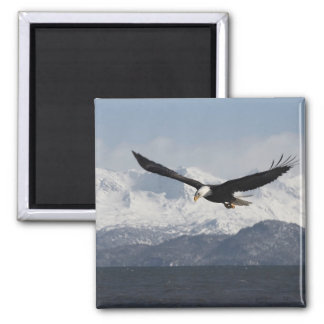 Bald Eagle in Flight, Haliaeetus leucocephalus, Magnet