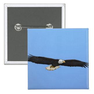 Bald Eagle in flight, Homer, Alaska, Haliaetus 15 Cm Square Badge