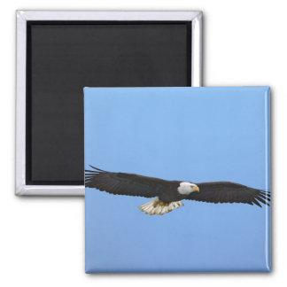 Bald Eagle in flight, Homer, Alaska, Haliaetus Square Magnet