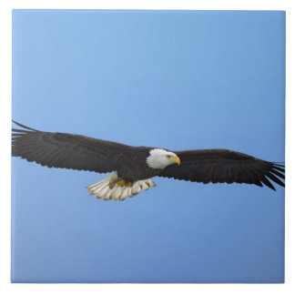 Bald Eagle in flight, Homer, Alaska, Haliaetus Tile