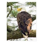 Bald Eagle in Pine Tree Postcard