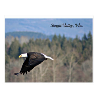 Bald Eagle in SkagitValley,Wa. Post Cards