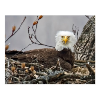 Bald Eagle Incubating an Egg Postcard