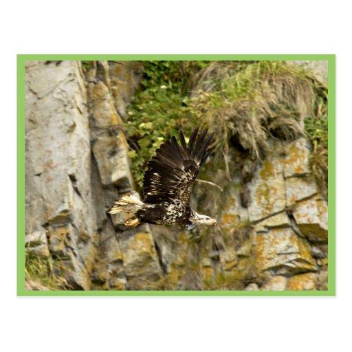 Bald Eagle, juvenile, Castle Rock, Shumagin Island Postcard