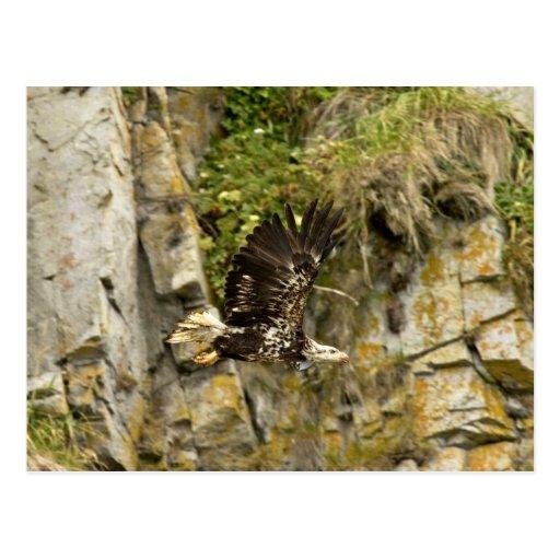 Bald Eagle, juvenile, Castle Rock, Shumagin Island Post Card