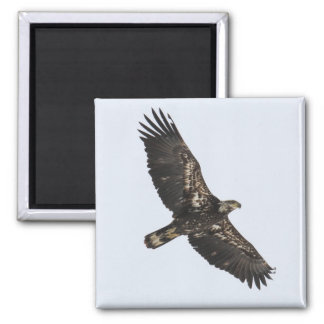 Bald Eagle (Juvenile) Square Magnet