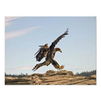 Bald Eagle Landing Fine Art Print Photographic Print