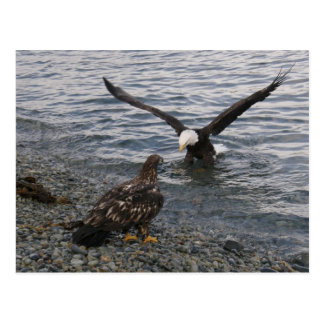 Bald Eagle Landing on the Beach Postcards
