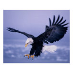Bald Eagle Landing Wings Spread in a Storm, Poster