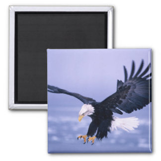 Bald Eagle Landing Wings Spread in a Storm, Square Magnet