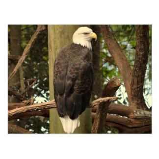 Bald Eagle (National Bird) Postcard