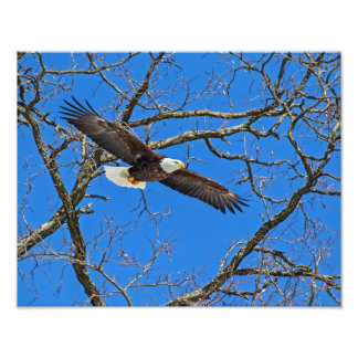 Bald Eagle On Blue Photo Print