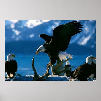 Bald Eagle on log poster