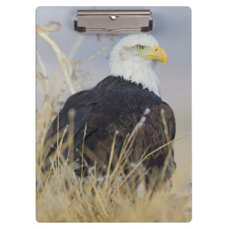 Bald Eagle on the ground Clipboards
