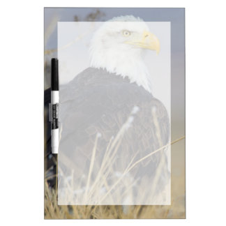 Bald Eagle on the ground Dry Erase Board