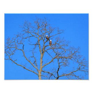Bald Eagle Pair in Tree Photo Print