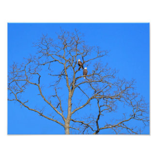 Bald Eagle Pair in Tree Photo Print