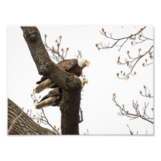 Bald Eagle Pair Perched Together Photograph