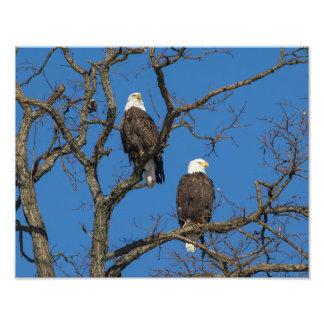 Bald Eagle Pair Photo Art