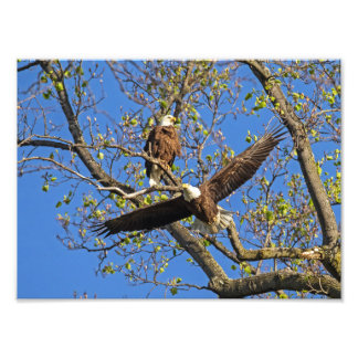Bald Eagle Pair Photographic Print
