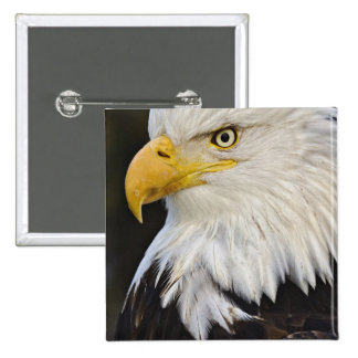 Bald Eagle portrait, Haliaetus leucocephalus, 15 Cm Square Badge