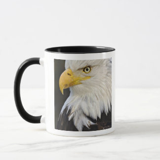 Bald Eagle portrait, Haliaetus leucocephalus, Mug