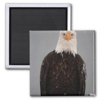Bald Eagle Portrait in the Snow, Haliaeetus Square Magnet