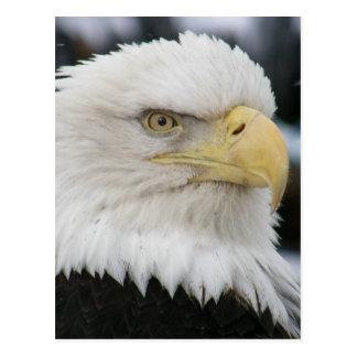 Bald Eagle Portrait Photo Post Card