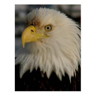 Bald Eagle Portrait Photo Postcards