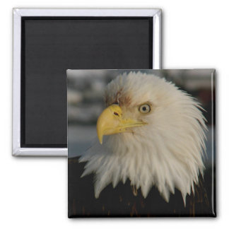 Bald Eagle Portrait Photo Square Magnet