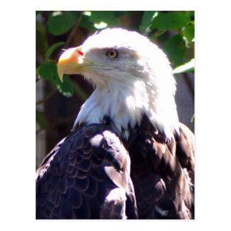 Bald Eagle Post Card