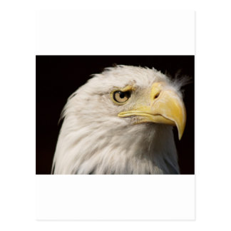 Bald Eagle Post Cards