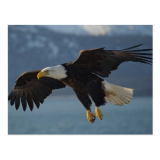 Bald Eagle Postcards