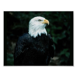 Bald Eagle Posters